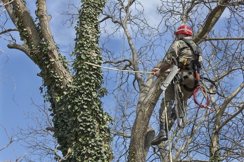 Picture of employee in a large tree at the top trimming all of the old branches in Green Bay, WI