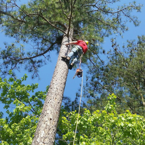 Picture of our tree climber going up a side of a tree with a chainsaw to trim dead branches in Green Bay, WI