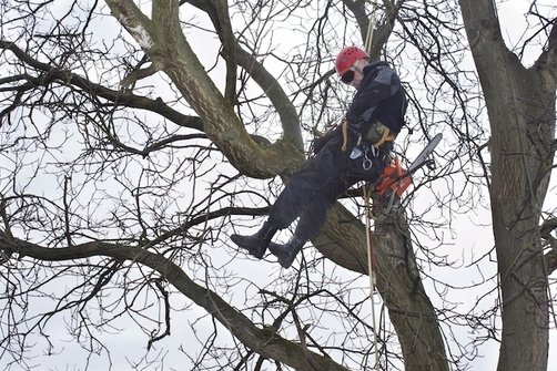 Picture of employee in the winter trimming a large oak tree in Green Bay, WI